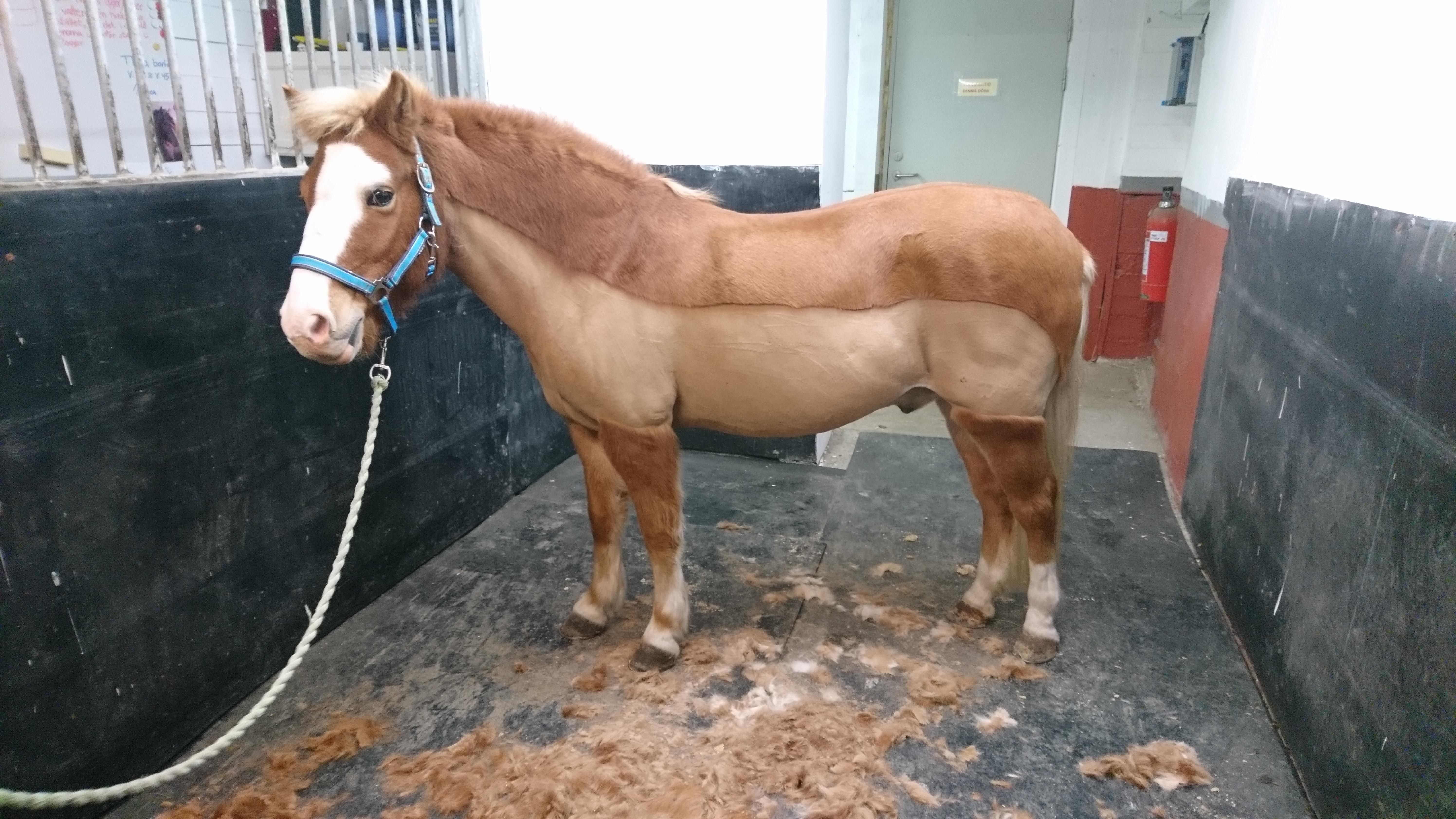 klippning av häst